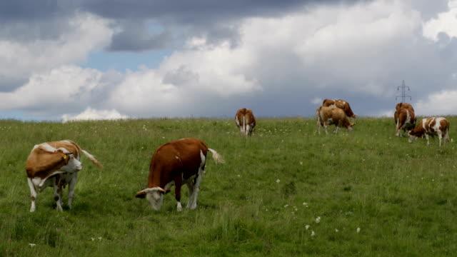 牧草地の牛 - cattle点の映像素材/bロール
