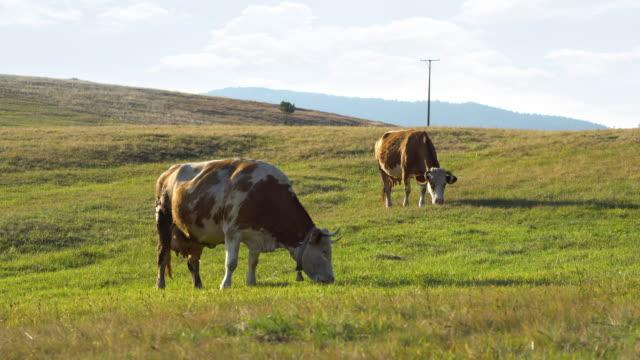 vídeos de stock, filmes e b-roll de vacas no pasto - vídeo de estoque - província de ulster