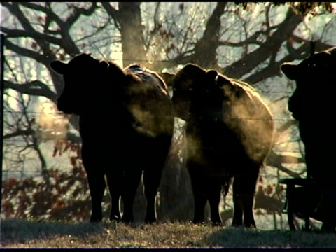 cows outdoors - medium group of animals video stock e b–roll