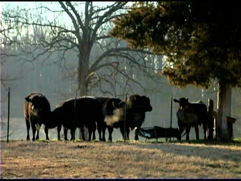 vidéos et rushes de cows outdoors - groupe moyen d'animaux