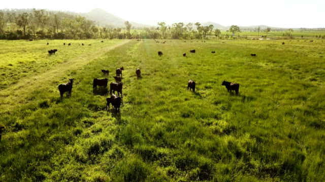 cows pasturing on a bright green grass - cultivated land stock videos & royalty-free footage