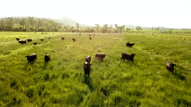 Cows pasturing on a bright green grass