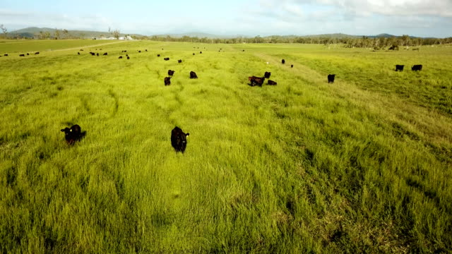 cows pasturing on a bright green grass - cow stock videos & royalty-free footage