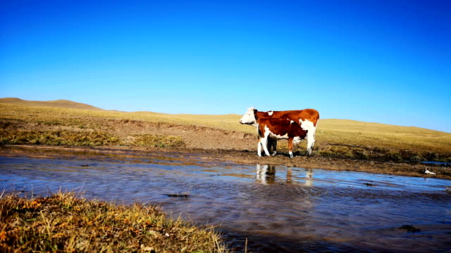 cows pasturing on grasslands in autumn - domestic cattle stock videos & royalty-free footage
