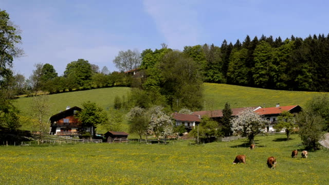 WS Cows pasturing on grassy field / Tegernsee, Bavaria, Germany