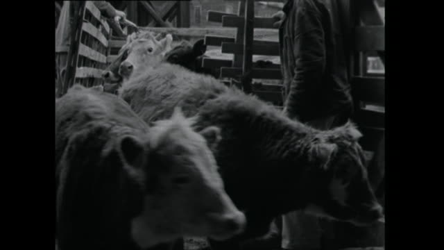 cows released from pen - 1961 stock videos & royalty-free footage