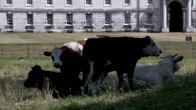cows rest in a field near the king's college of our lady and saint nicholas campus of the university of cambridge. available in hd. - king's college cambridge stock videos & royalty-free footage