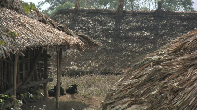 cows rest near bamboo barns with thatched roofs in india. - strohdach stock-videos und b-roll-filmmaterial