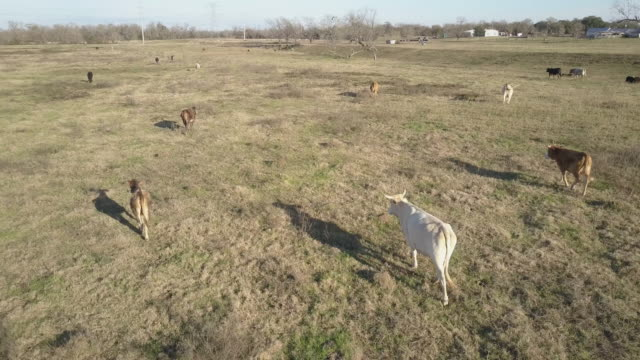 Cows run in a grass field