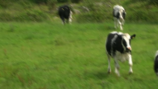 cows rushing to eat on a farm - field stock videos & royalty-free footage