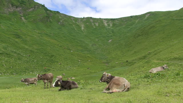 ws cows  sitting on grass at schlappold alm / oberstdorf, bavaria, germany  - alm stock-videos und b-roll-filmmaterial