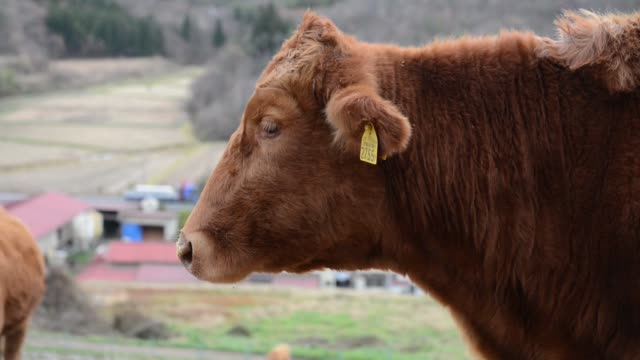 cows stand at a farm owned by seikou sekimura in kurihara miyagi japan on thursday nov 24 an identification tag is attached to a cow's ear at a farm... - tag 2 stock-videos und b-roll-filmmaterial