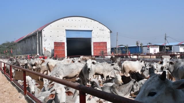 Cows stand in a cattle shed at the Sri Krishna Gaushala on the outskirts of New Delhi India on Sunday Jan 21 Cows stand behind a gate in a cattle...