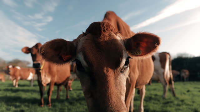 cows standing on dairy farm - medium group of animals stock videos & royalty-free footage