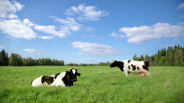 stockvideo's en b-roll-footage met hd: cows - stock video - weide