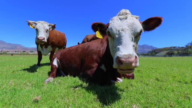 kühe - rind stock-videos und b-roll-filmmaterial