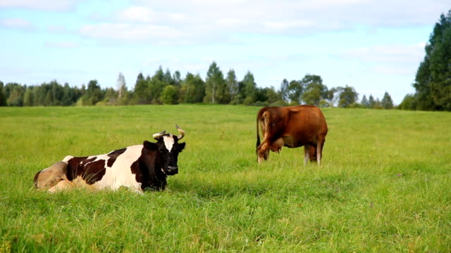 cows - grazing stock videos & royalty-free footage