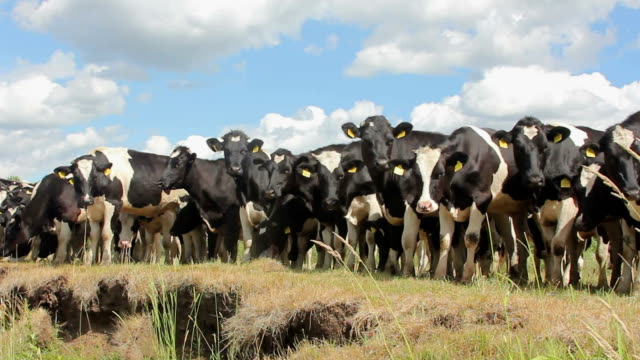 cows - cow stock videos & royalty-free footage