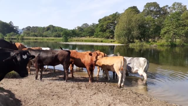 cows wading in the river brathay during hot weather, ambleside, lake district, uk. - walking in water stock videos & royalty-free footage