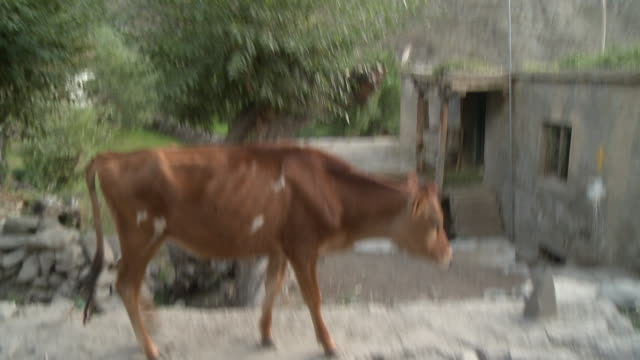 cows walk along manali road - small group of animals stock videos & royalty-free footage