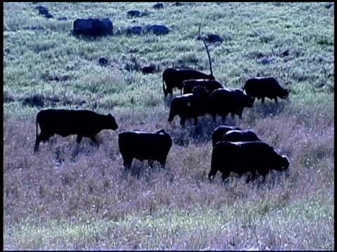 vidéos et rushes de cows walk and graze in a grassy field. - groupe moyen d'animaux