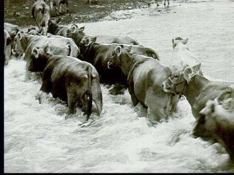 stockvideo's en b-roll-footage met 1924 b/w ws cows walk through rapids in river / south dakota, usa - 1924