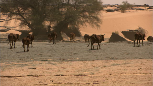 cows walk through the sahara desert. - オアシス点の映像素材/bロール