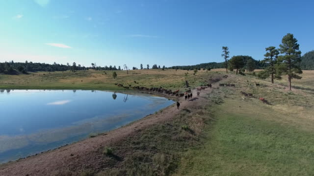 cows walking by lake reflection over water 4k drone tracking aerial view wildlife herd hunting, deer, elk, bison, hawk, buck, cows, bird, buffalo, directors choice, editors choice, magic hour, sun flare, grassland, epic - bird hunting stock videos & royalty-free footage