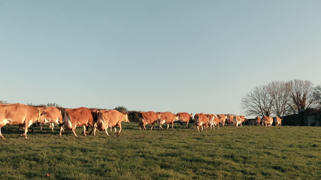 cows walking on grassy landscape - bare tree stock videos & royalty-free footage