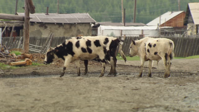 Cows wander in a lane in the village of Sakkyryr.