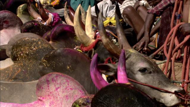 vidéos et rushes de cows with painted horns stand along a fence. - cattle