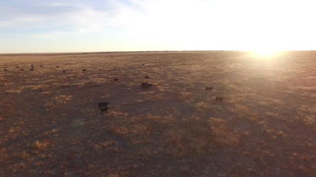 drone cows wrap around low sun flare reveal - 4k drone tracking aerial view wildlife herd hunting, deer, elk, bison, hawk, buck, cows, bird, buffalo, directors choice, editors choice, magic hour, sun flare, grassland, epic - bird hunting stock videos & royalty-free footage