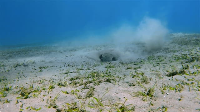 cowtail stingray on seagrass bed on red sea - stingray stock videos and b-roll footage