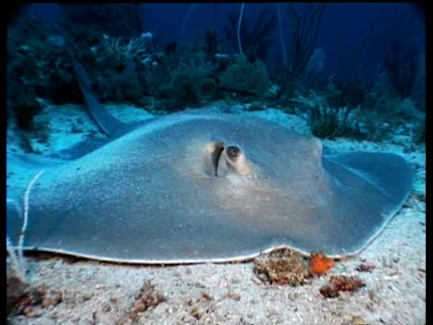 cu cowtail stingray resting on seafloor, malaysia - stingray stock videos and b-roll footage