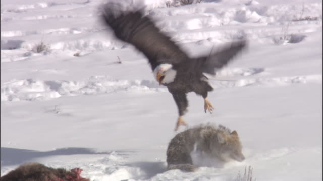 vidéos et rushes de coyote (canis latrans) attacks bald eagle (haliaeetus leucocephalus) on elk carcass, yellowstone, usa - rapace
