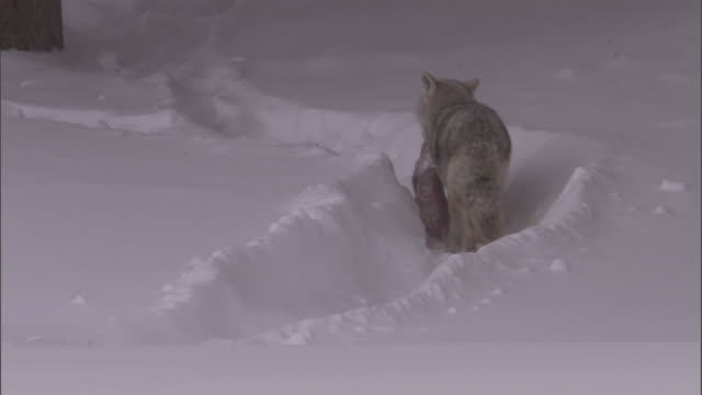 coyote (canis latrans) carries dead bison calf through snow, yellowstone, usa - american bison stock videos & royalty-free footage
