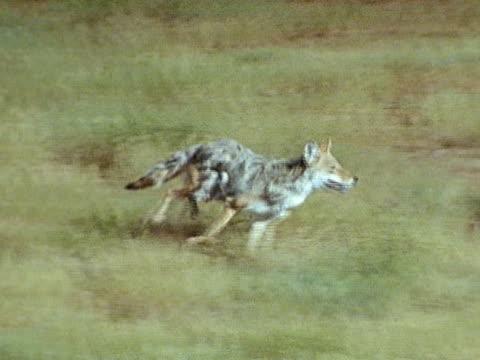coyote chasing sheep in field - mutterschaf stock-videos und b-roll-filmmaterial