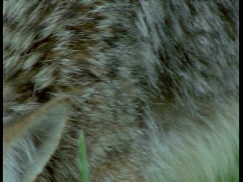 coyote chews at carcass, idaho - aas fressen stock-videos und b-roll-filmmaterial