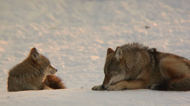 coyote paar im winter - animal hair stock-videos und b-roll-filmmaterial