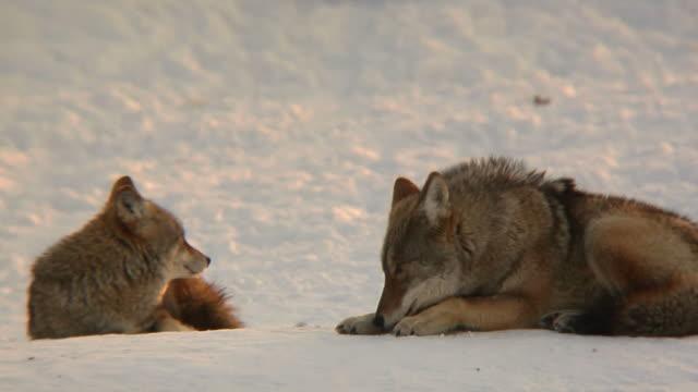 coyote paar im winter - tierisches haar stock-videos und b-roll-filmmaterial