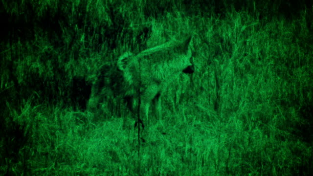 coyote eating prey - night vision stock videos and b-roll footage
