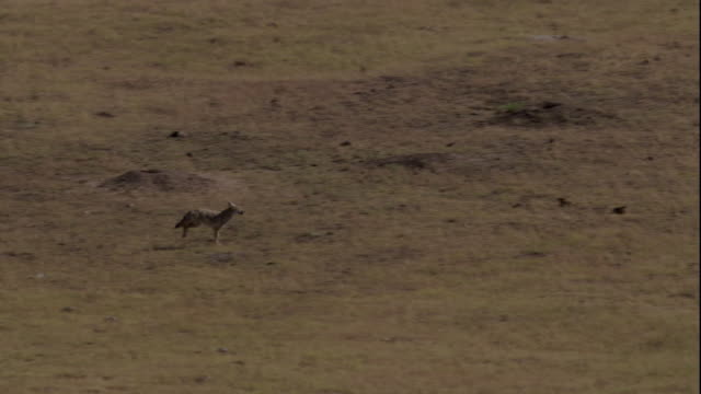 a coyote hunts in the grasslands of badlands national park. available in hd. - badlands national park video stock e b–roll