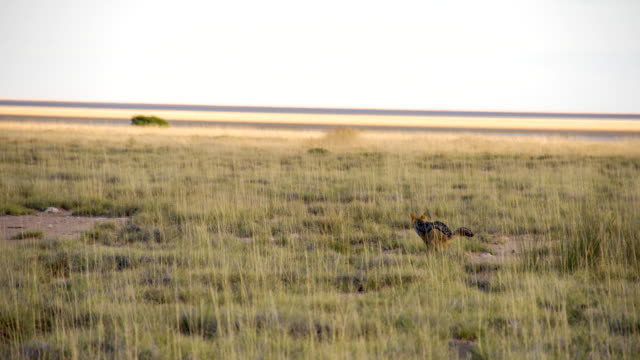 WS Coyote In African Savannah