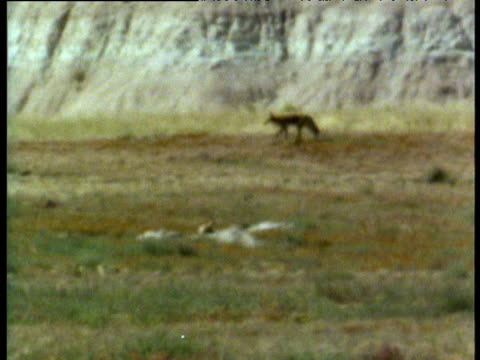 Coyote in extreme heat haze in Badlands of South Dakota