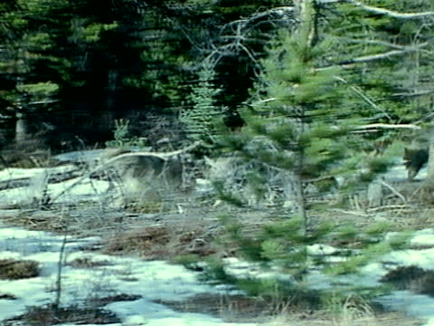 Coyote pack running out of forest HA TD WS Herd of Bighorns running away in forest snow