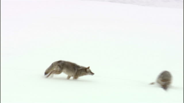 Coyote (Canis latrans) runs and attacks another in snow, Yellowstone, USA