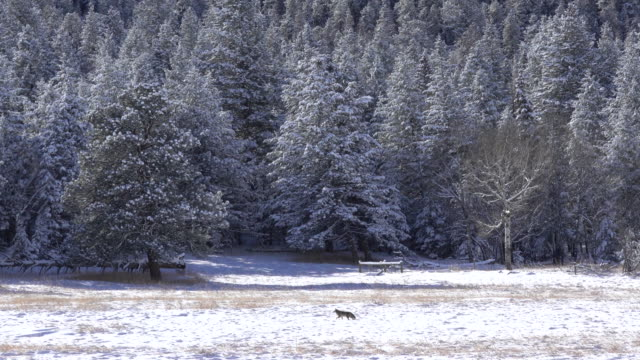 vídeos de stock e filmes b-roll de coyote runs hunts snowy elk meadows evergreen colorado winter - árvore de folhas perenes