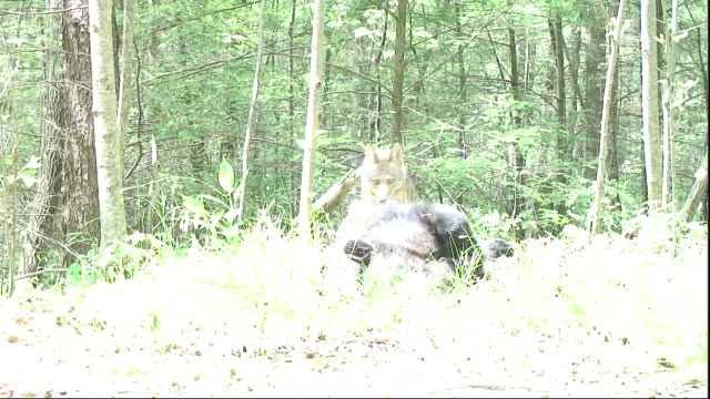 a coyote scavenges a bear carcass. - appalachia stock videos & royalty-free footage