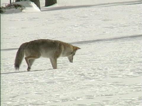 vídeos y material grabado en eventos de stock de ws coyote searching prey in snow / colorado, usa  - comportamiento de animal