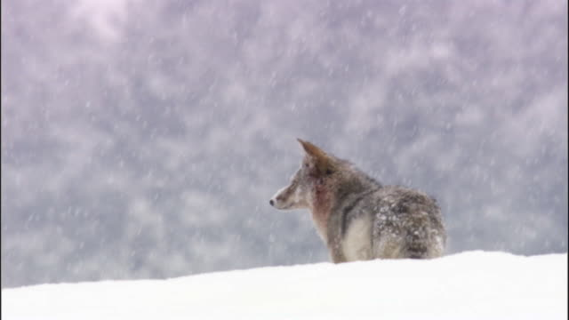 coyote (canis latrans) stands in snow, yellowstone, usa - 深い雪点の映像素材/bロール